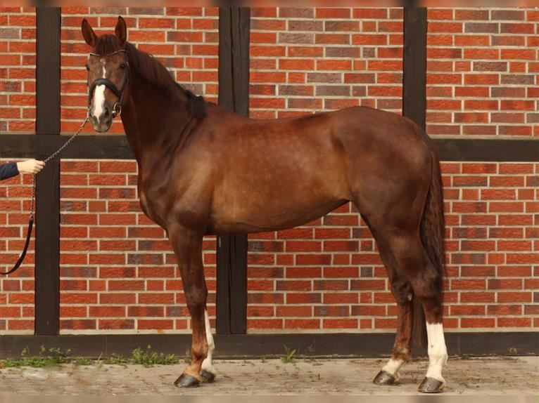 KWPN Mare 9 years 16,3 hh Chestnut