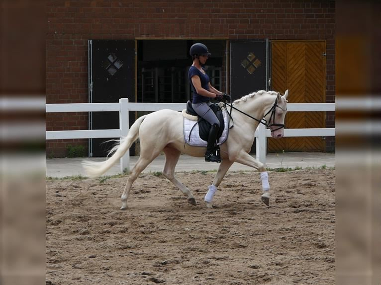 More ponies/small horses Stallion 5 years 14,2 hh Cremello