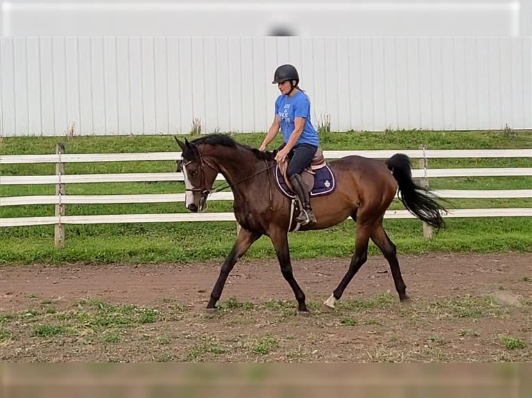 Other Thoroughbreds Mare 4 years 16,1 hh Bay