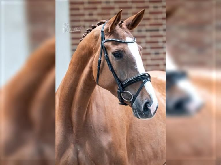 German Sport Horse Mare 6 years 16,2 hh Chestnut-Red