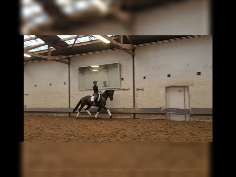 Hanoverian Mare 5 years 16,1 hh Brown