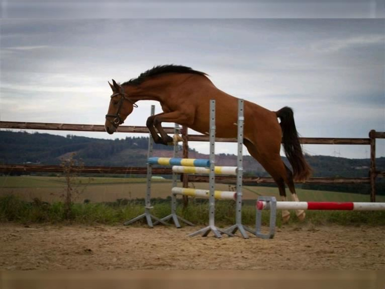 Hanoverian Mare 3 years 16,2 hh Brown