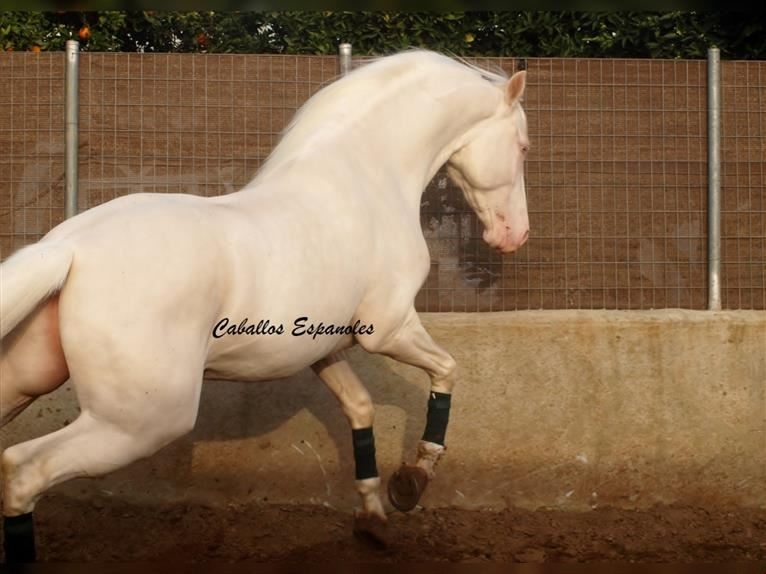 Andalusian Stallion 4 Years 15 2 Hh Cremello
