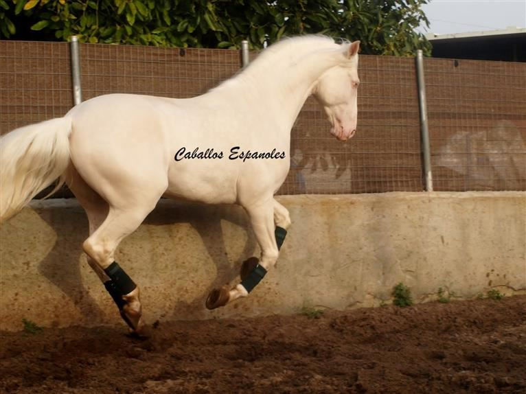 Andalusier Hengst 4 Jahre 160 cm Cremello