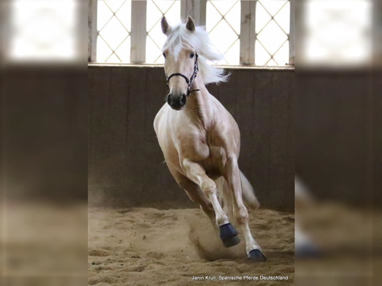 Andalusier Wallach 4 Jahre 156 cm Palomino