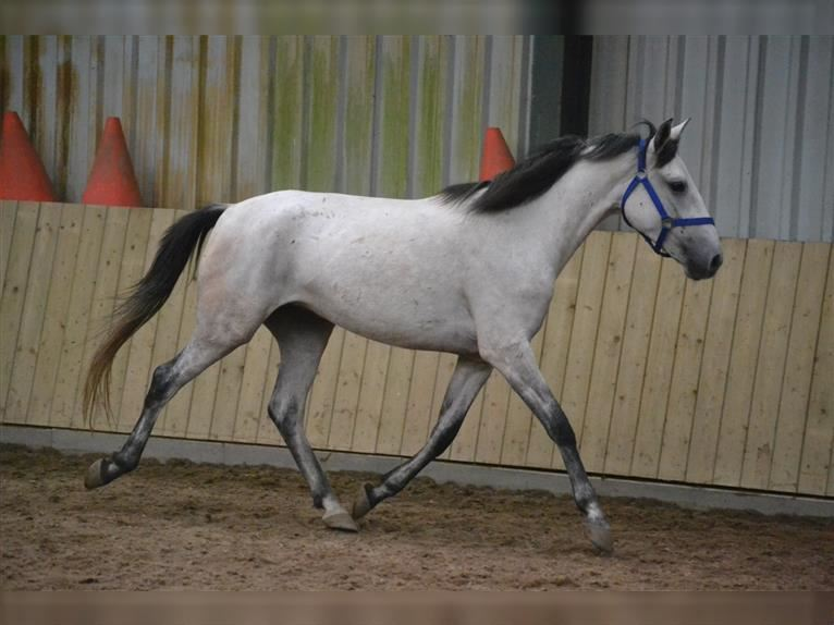 Other Breeds Mare 4 years 14,2 hh Brown Falb mold