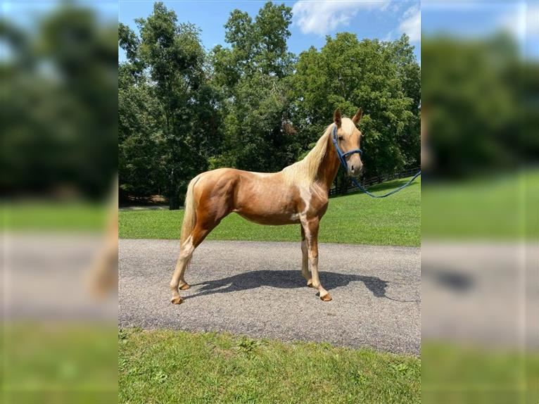 Tennessee walking horse Jument 1 Année 142 cm Tobiano-toutes couleurs