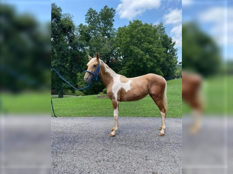 Tennessee walking horse Mare 1 year 14 hh Tobiano-all-colors