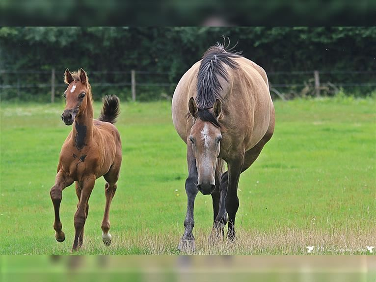 Holstein Stallion Foal (06/2021) Can be white