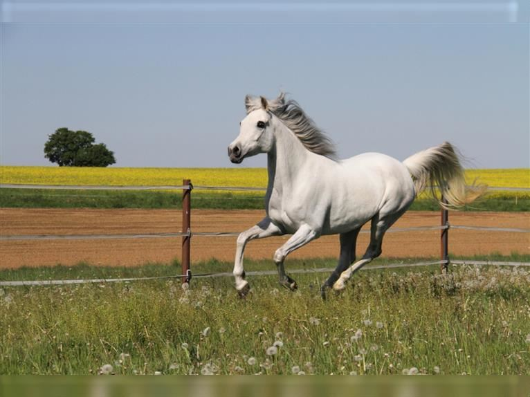 Straight Egyptian Mare 10 years 15,2 hh Gray