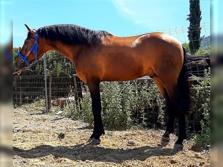 Andalusier Hengst 8 Jahre 160 cm Falbe
