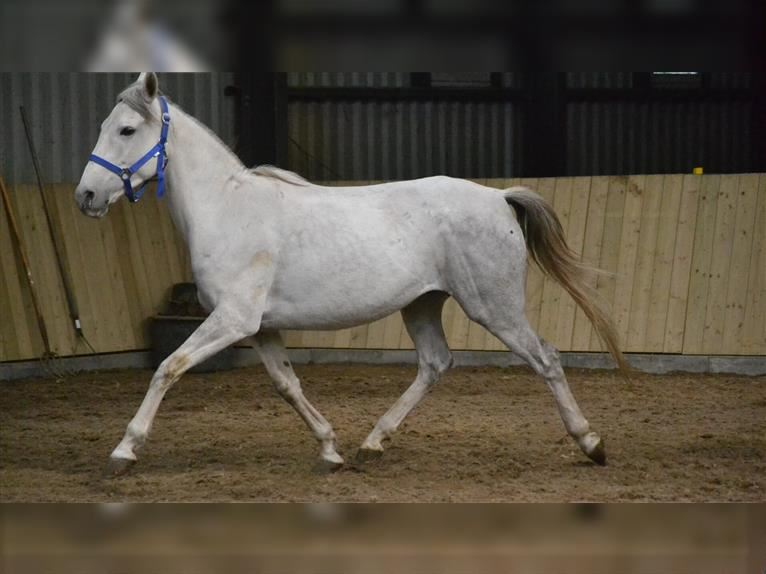 Other Breeds Mare 4 years 14,1 hh White