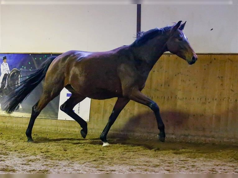 Hanoverian Mare 9 years 17 hh Brown