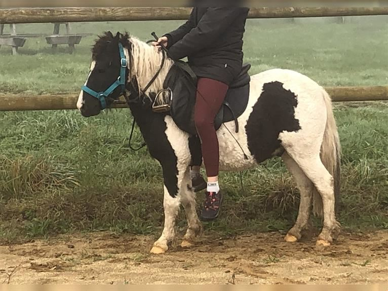 Curly Horse Mix Wallach 4 Jahre 110 cm Rappe