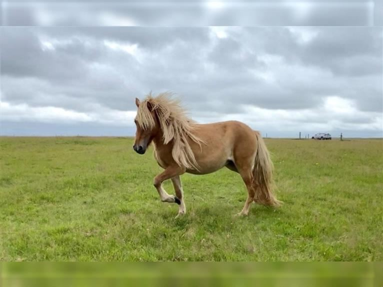 Icelandic Horse Mare 2 years 13,2 hh Champagne