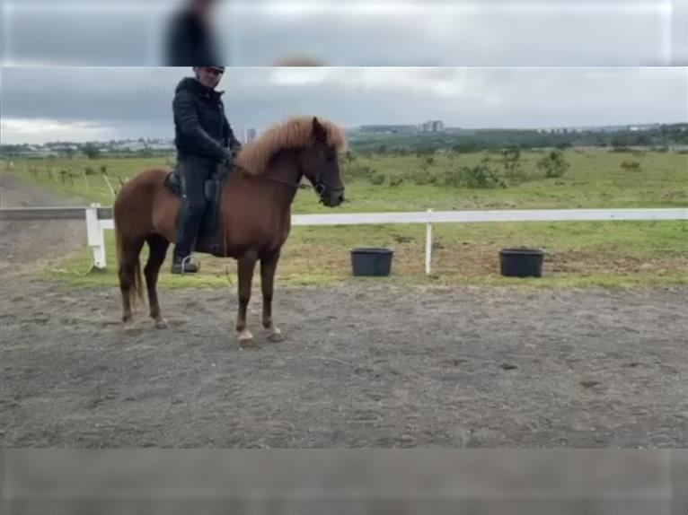 Icelandic Horse Mare 9 years 13,2 hh Chestnut-Red