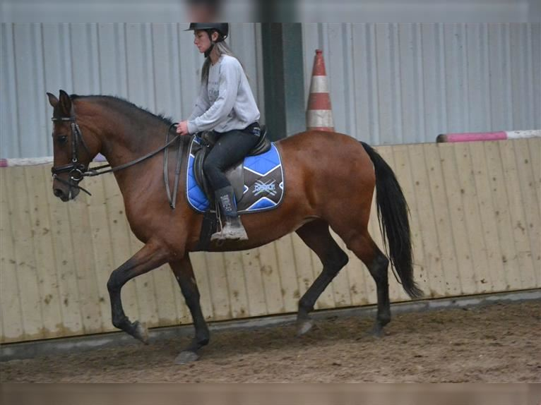 Other Breeds Mare 15 years 14,3 hh Brown