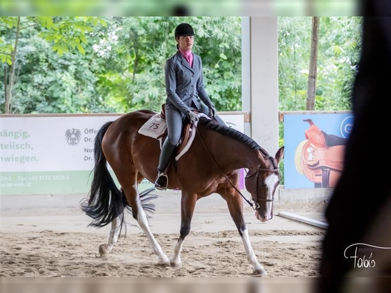 American Quarter Horse Mare 8 years 15,2 hh