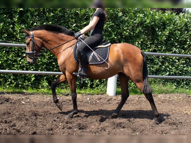 P.R.E. Mix Mare 4 years 14,3 hh Brown
