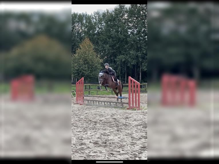 Welsh A (Mountain Pony) Mare 4 years 10,2 hh Gray