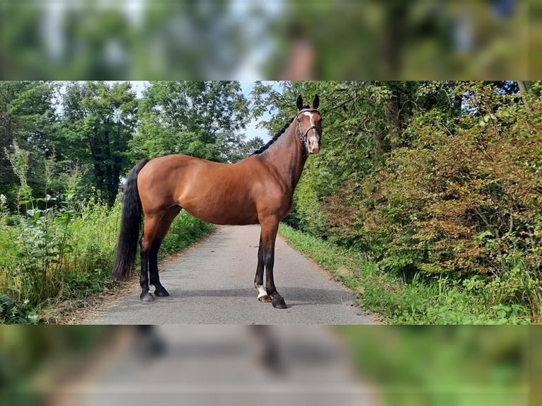KWPN Mare 11 years 16 hh Brown