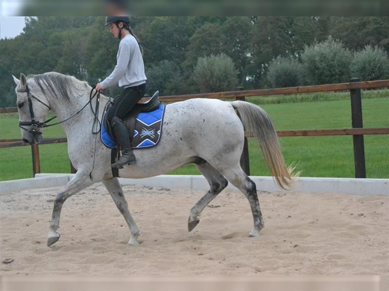 Other Breeds Gelding 10 years 15,2 hh Gray