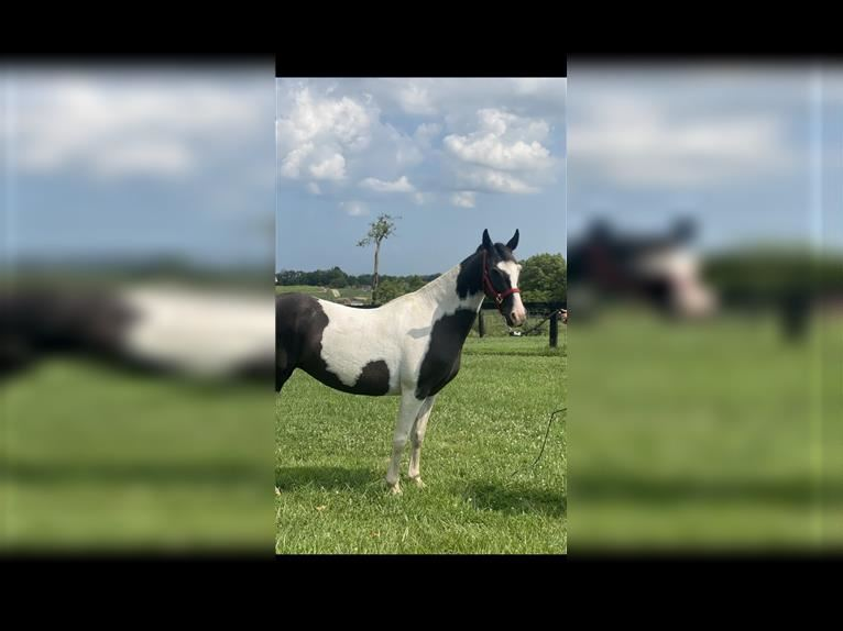 Spotted Saddle Horse Jument 12 Ans 147 cm Tobiano-toutes couleurs