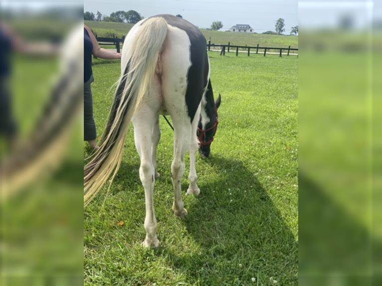 Spotted Saddle Horse Mare 12 years 14,1 hh Tobiano-all-colors