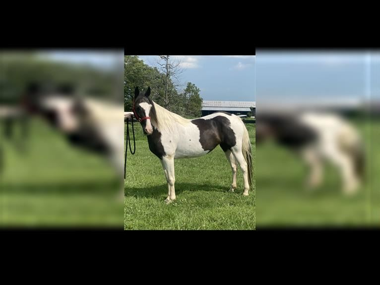 Spotted Saddle Horse Stute 12 Jahre 147 cm Tobiano-alle-Farben
