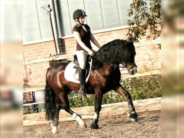 GLEBEDALE CHIT-CHAT Welsh C (of Cob Type) Stallion Brown