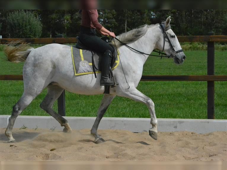 Other Breeds Mare 6 years 15 hh Gray