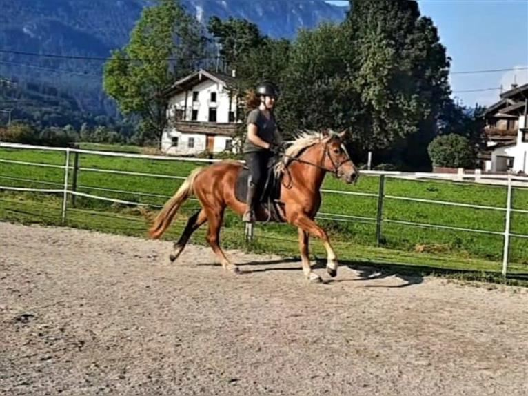 Haflinger Mare 3 years 14,2 hh Chestnut-Red