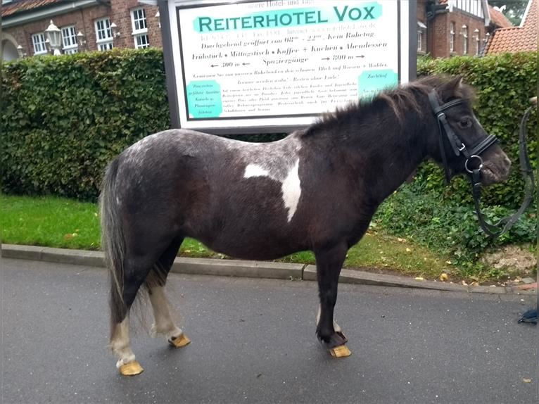 Shetland Ponies Mare 8 years 9,1 hh Pinto