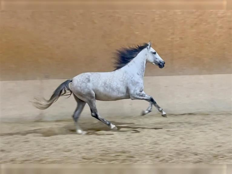 Andalusian Mare 7 years 15,3 hh Gray-Dapple