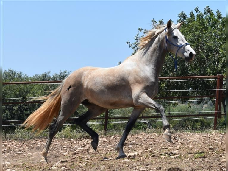 Andalusian Mare 4 years 15,1 hh Gray