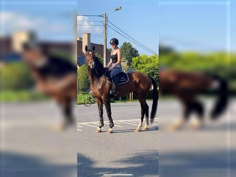 KWPN Mare 13 years 16,1 hh Brown