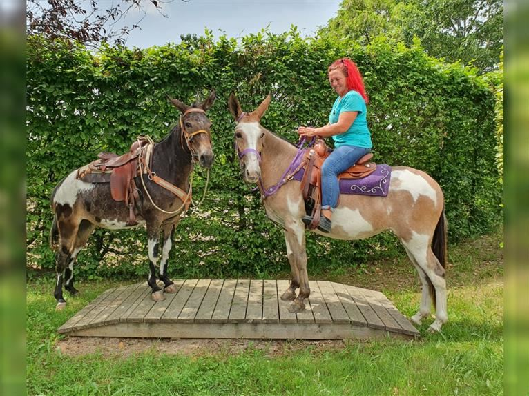 Mule Mare 12 years 14,3 hh Overo-all-colors
