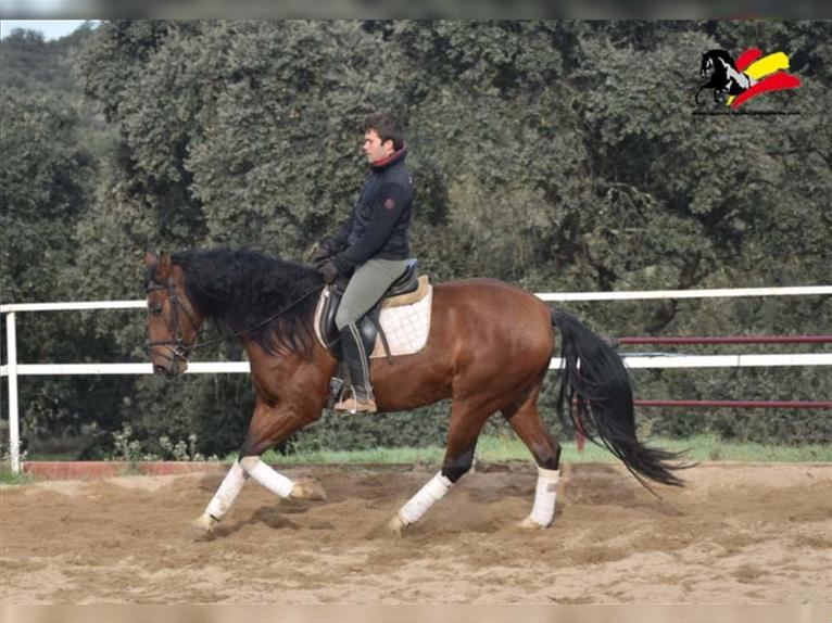 Andalusian Gelding 4 years 15,1 hh Brown