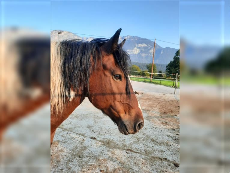 More ponies/small horses Gelding 11 years 14,1 hh Pinto