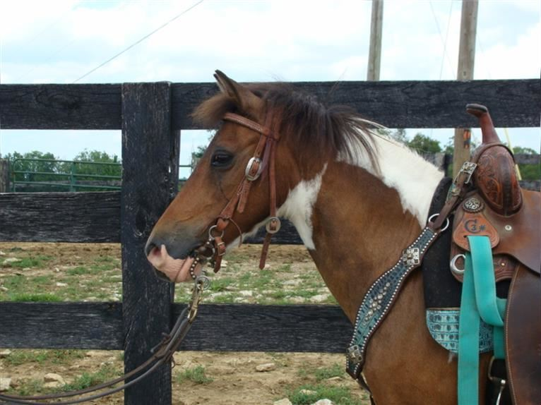Paint Horse Mare 10 years 11,2 hh Bay