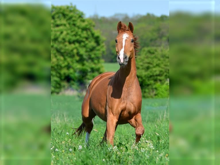 Hanoverian Mare 13 years 16,1 hh Chestnut-Red