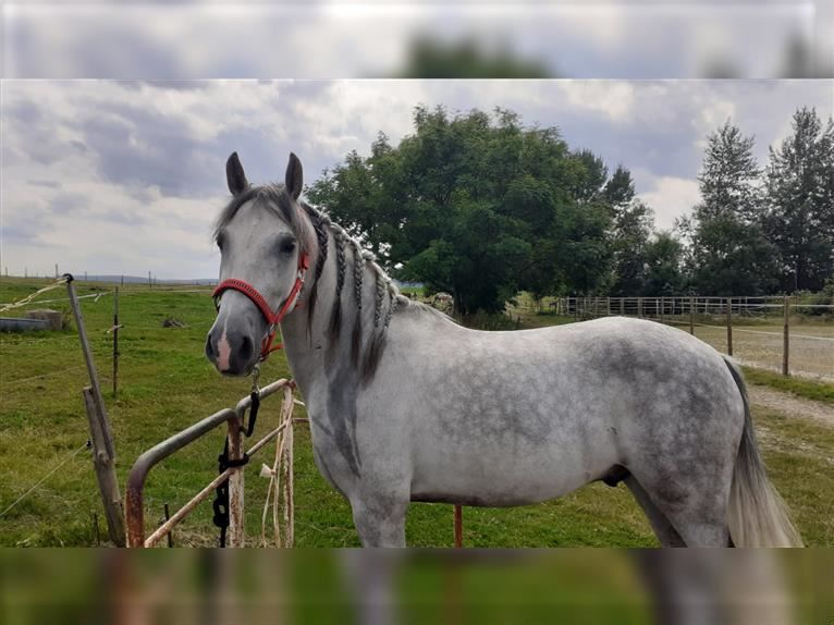 Andalusian Gelding 3 years 15 hh Gray-Dapple