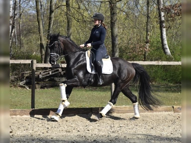 KWPN Mare 5 years 16,1 hh Black