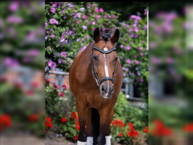 German Riding Pony Mare 8 years 14,2 hh Brown