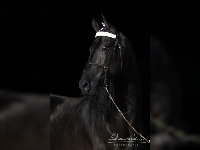 THE JAZZ STORM Tennessee Walking Horse Hengst Rappe