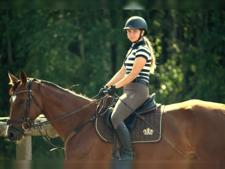 KWPN Mare 7 years 15,2 hh Brown