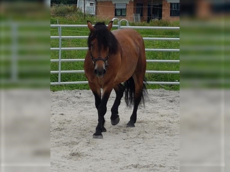 More ponies/small horses Mare 6 years 15,1 hh Brown