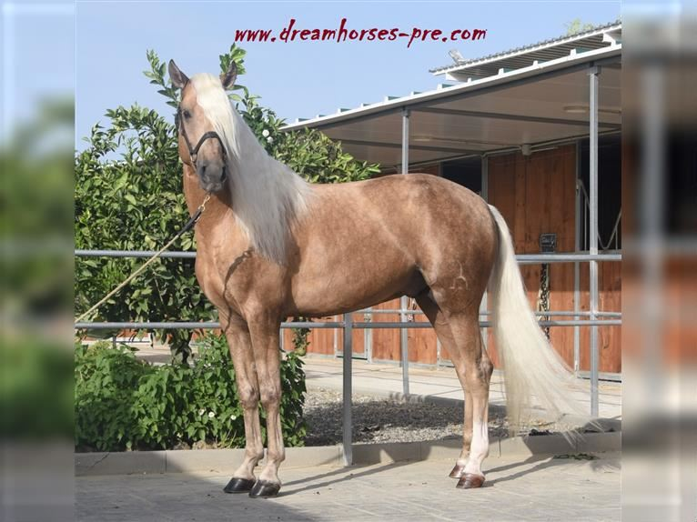 Andalusier Mix Hengst 6 Jahre 161 cm Palomino