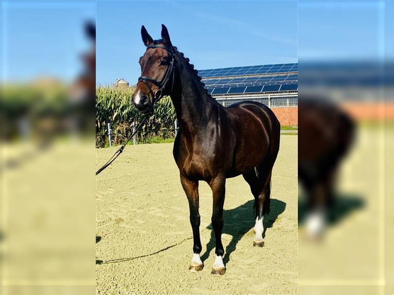 Hanoverian Mare 8 years 16,1 hh Brown