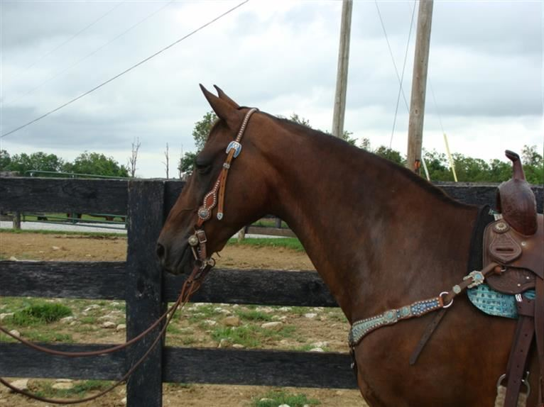Kentucky Mountain Saddle Horse Mare 12 years 14,2 hh